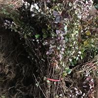 陕西裕盛苗木市场批发红叶小檗红叶小波紫叶小檗