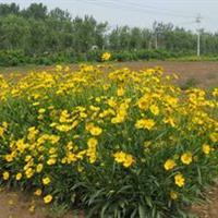 金鸡菊别称小波斯菊、金钱菊、孔雀菊   金鸡菊种子价格