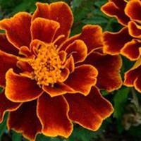 万寿菊别称臭芙蓉、万寿灯、蜂窝菊、臭菊花 万寿菊种子价格