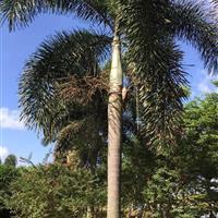 狐尾椰子(杆高4米,冠幅4米,地径40,价格700)