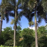 狐尾椰子(杆高3米,冠幅4米,地径30,价格370)