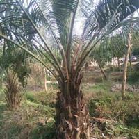 布迪椰子(杆高1米,冠幅4米,地径45,价格550)