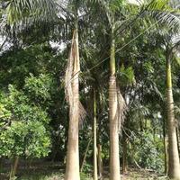 大王椰子(杆高3米,冠幅3米5,地径35,价格350)