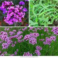 柳叶马鞭草别称南美马鞭草、长茎马鞭草 马鞭草种子价格 图片