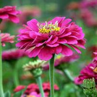 百日草别称步步高、火球花、对叶菊 、秋罗百日草种子价格 图片
