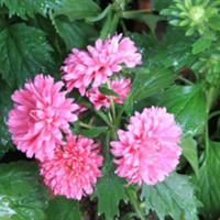 翠菊别称江西腊、七月菊、格桑花  翠菊种子价格  翠菊图片