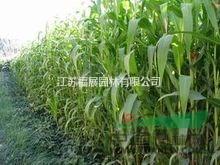 墨西哥玉米别称大刍草 墨西哥玉米种子价格 墨西哥玉米照片