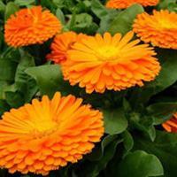 金盏菊别称黄金盏、长生菊、醒酒花、常春花 金盏菊种子价格