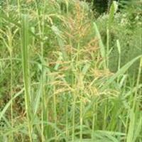 苏丹草种子价格 苏丹草照片