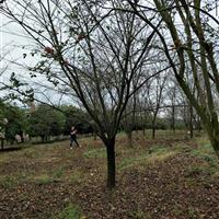 供有大规格日本樱花6公分到24公分