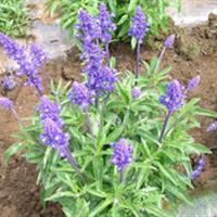 兰花鼠尾草种子价格  兰花鼠尾草照片 兰花鼠尾草适合花坛景观
