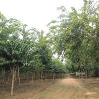 樸樹、山東樸樹、樸樹批發、樸樹培育基地、樸樹小苗