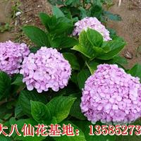 八仙花价格-绣球花价格图片高度40-50公分八仙绣球花价格表