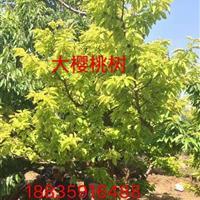 大樱桃苗多少钱,山西哪里有卖樱桃树苗的,山西大樱桃苗价格