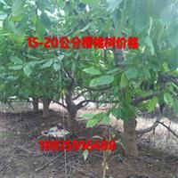 大樱桃树_哪里有卖大樱桃树的_15公分樱桃树苗价格是多少