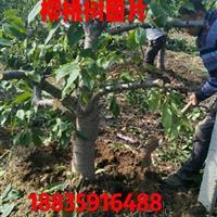 出售一批大樱桃树·占地用的樱桃树·粗度10-15公分大樱桃树