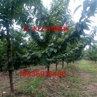 樱桃树主要生长分布地方在哪?樱桃树生长习性?怎么种植培育?