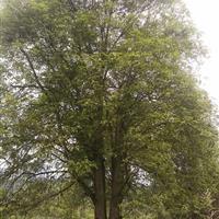 大桂花树基地,专售30公分以上大桂花