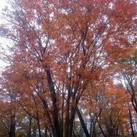 星星园林大量供应五角枫,三角枫,红枫,青枫等各种枫树