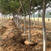 景观树18、20公分大合欢树秋冬能移栽吗