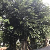 小叶榕(米径15高度4米5,价格450)红皮榕小叶榕场地批发