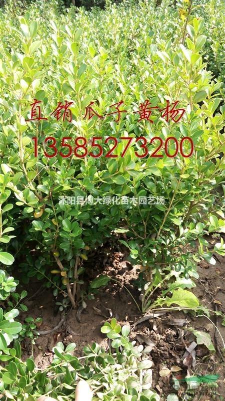 瓜子黄杨球价格(40*20瓜子黄杨小毛球价格报价表)瓜子黄杨