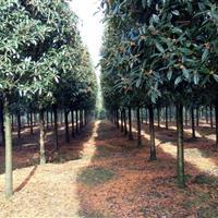 10至16公分成都桂花树、精品八月桂供应