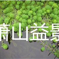 花叶芒、花叶香蒲、玉带草、细叶芒、细叶莎草、再力花、狐尾藻