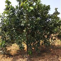 湖南靖州供10一14的柚子树。