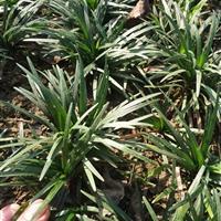 玉龙草矮麦冬麦冬草供应