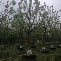 移栽一年的15公分香樟