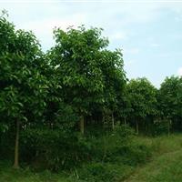 供应高山榕、本地木棉、鸡蛋花、菩提榕、水葡萄等,有意请电联。