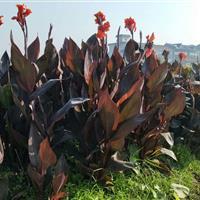 杭州萧山传武苗圃常年大量供应各种优质睡莲