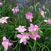 韭兰  红花韭兰  葱兰  红花葱兰 红花醡浆草