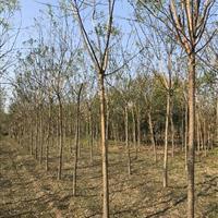 河南鄢陵超低价供应2-10公分优质国槐