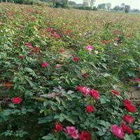 河南鄢陵卓林花木基地供应2年生红帽月季,大花月季