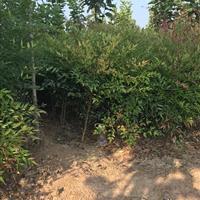 河南鄢陵卓林花木基地供应优质2年生南天竺