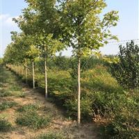 美国红枫。精品美国红枫2-8公分