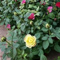 钻石月季 大花月季 品种月季 丰花月季 红帽子月季
