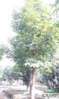 七叶树图片\七叶树报价