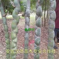 安吉常年供应龟甲竹/竹子大量供应