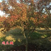 鸡爪槭2-10公分基地直销鸡爪槭产地鸡爪槭价格