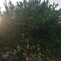 浙江常山供应3-5米胡柚树