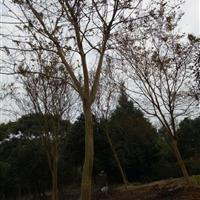麦冬苗/黄葛树/紫薇/银杏