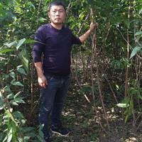 腊梅2米高度价格,量大,高档用苗