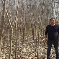 桃树5-15公分,量大,杆直。占地用苗。嫁接水蜜桃