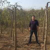 垂槐5-8公分价格,龙爪槐。量大。看苗挖苗