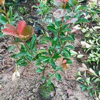 红叶石楠苗40高度。红叶石楠球50-300,红叶石楠树6公分