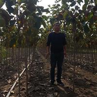 紫玉兰1-10公分价格白玉兰1-10公分价格。玉兰建苗圃用苗