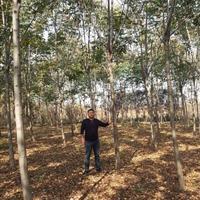 栾树2-15公分价格。80高度小苗价格。等待出售、送货上门。